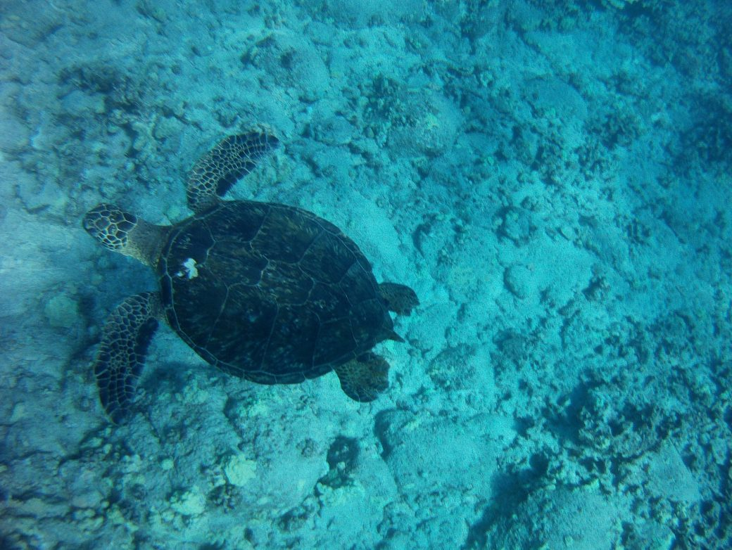Sea Turtle in Hawaii - Pops de Milk